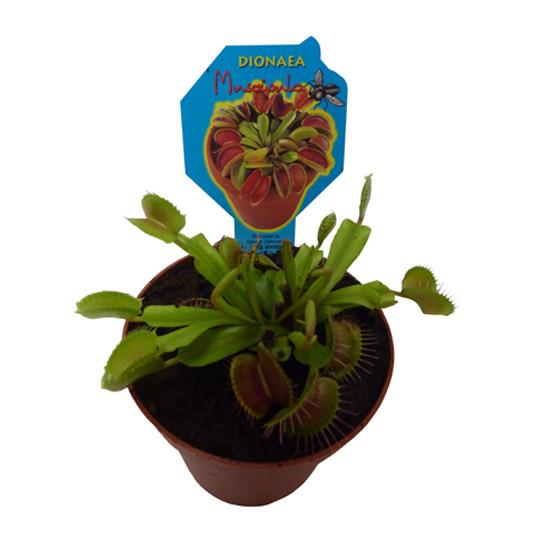 Plantes: Plante carnivore-Dionaea muscipula