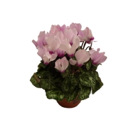 Mini_cyclamen_fu_5064abe2c5440.jpg