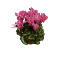 Mini_cyclamen_ro_5064ac484283f.jpg