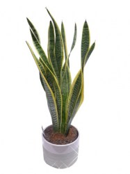 sanseveria+pot-web